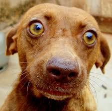 Hunde kopierer ejers stressniveau